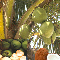 Click here for more on Coconuts - 12nos
